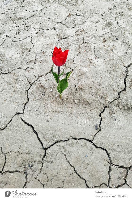 Tulpe auf ausgedörrtem Boden Blume rot Frühling Blüte grün Pflanze Natur Blühend Farbfoto Tag Blatt Außenaufnahme Dürre Leben Frühblüher Frühlingsblume