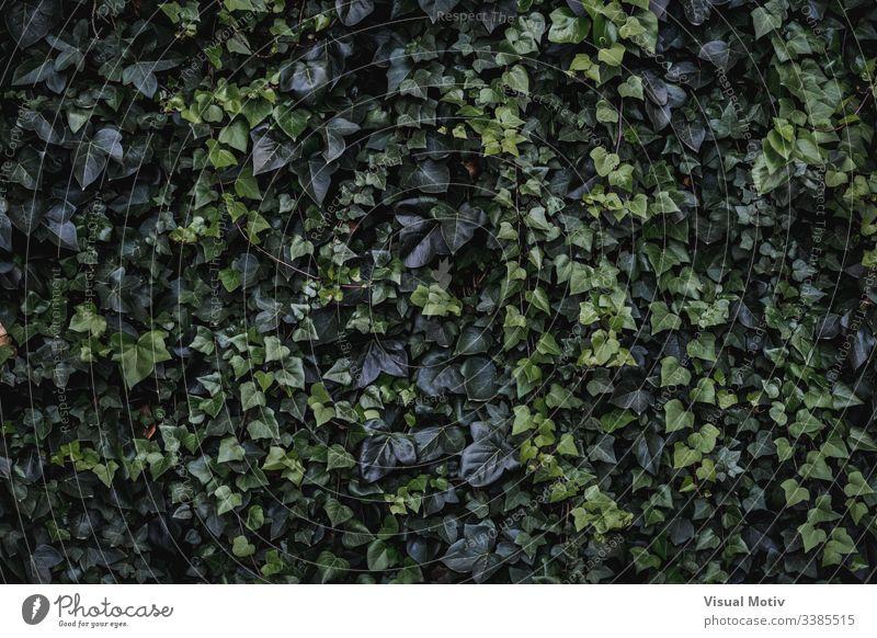 Immergrüne Blätter von Kletter-Efeu Algerischer Efeu Hedera-Algeriensis herzförmige Blätter Immergrünes Klettern Farbe Natur natürlich Pflanze Blatt Park Garten