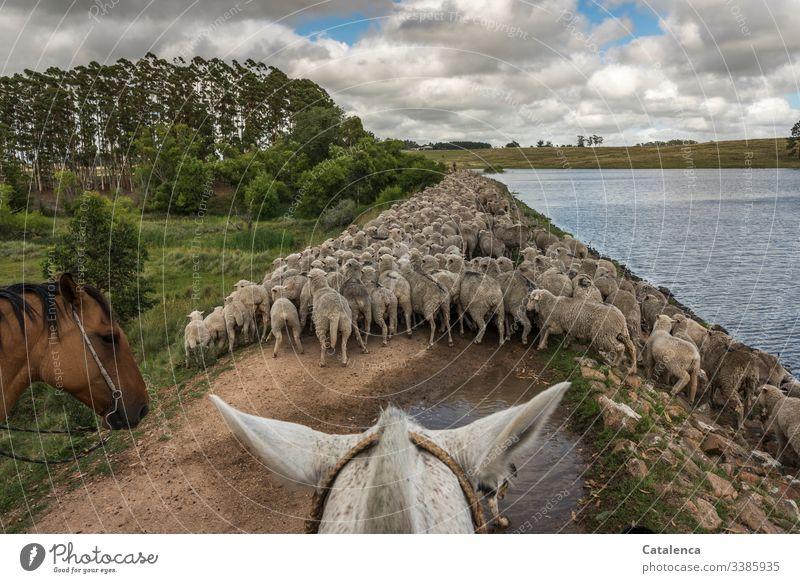 Und noch mehr Schafe zu Pferd treiben, an einem Stausee entlang Reiter Himmel Sommer Wolken Seeufer Tier Natur Schafherde Landschaft Tag Tageslicht Weg Hund