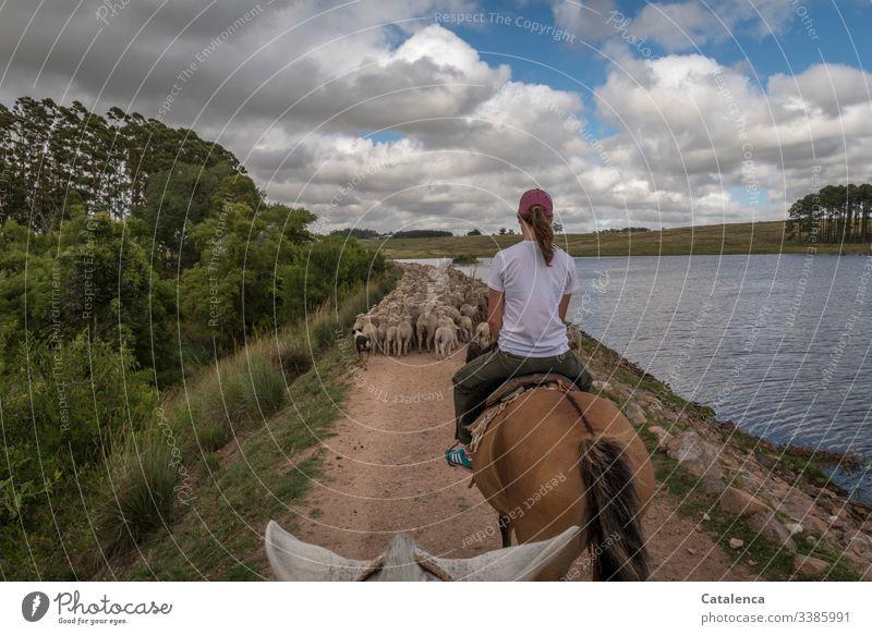 Schafe zu Pferd treiben, an einem Stausee entlang Reiter Himmel Sommer Wolken Seeufer Tier Natur Schafherde Landschaft Tag Tageslicht Weg Hund Eukalyptusbaum
