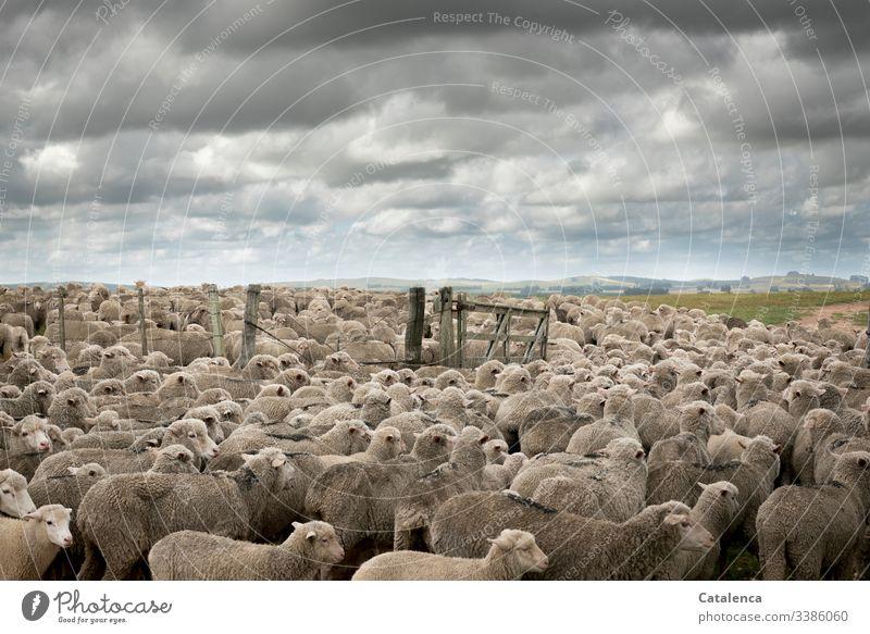 Konsumterror | Intensivtierhaltung Fauna Tiere Nutztiere Schafe Schafherde Tierhaltung Massentierhaltung Herde Landschaft Horizont Wolken Himmel Tor Gattertor