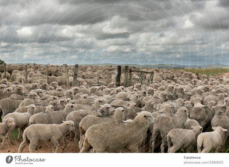 Eng zusammengepfercht  passieren die Schafe einer Herde das  Tor zur Weide Himmel Sommer Wolken Tier Natur Schafherde Landschaft Tag Tageslicht Nutztier Umwelt