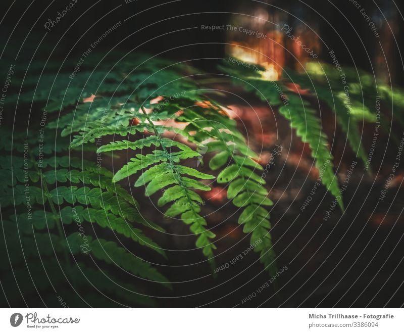 Farn im Abendlicht Umwelt Natur Pflanze Außenaufnahme Detailaufnahme Menschenleer natürlich Wald Blatt Farnblatt Farbfoto Textfreiraum rechts Textfreiraum links