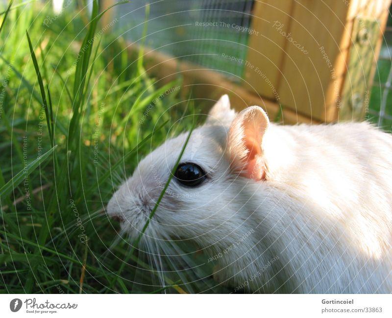 Asfaloth R.I.P. Garten Natur Tier Sommer Gras Wiese Haustier Maus Tiergesicht Fell Mongolische Rennmaus grün weiß Schnurrhaar Knopfauge Gehege Säugetier Geruch