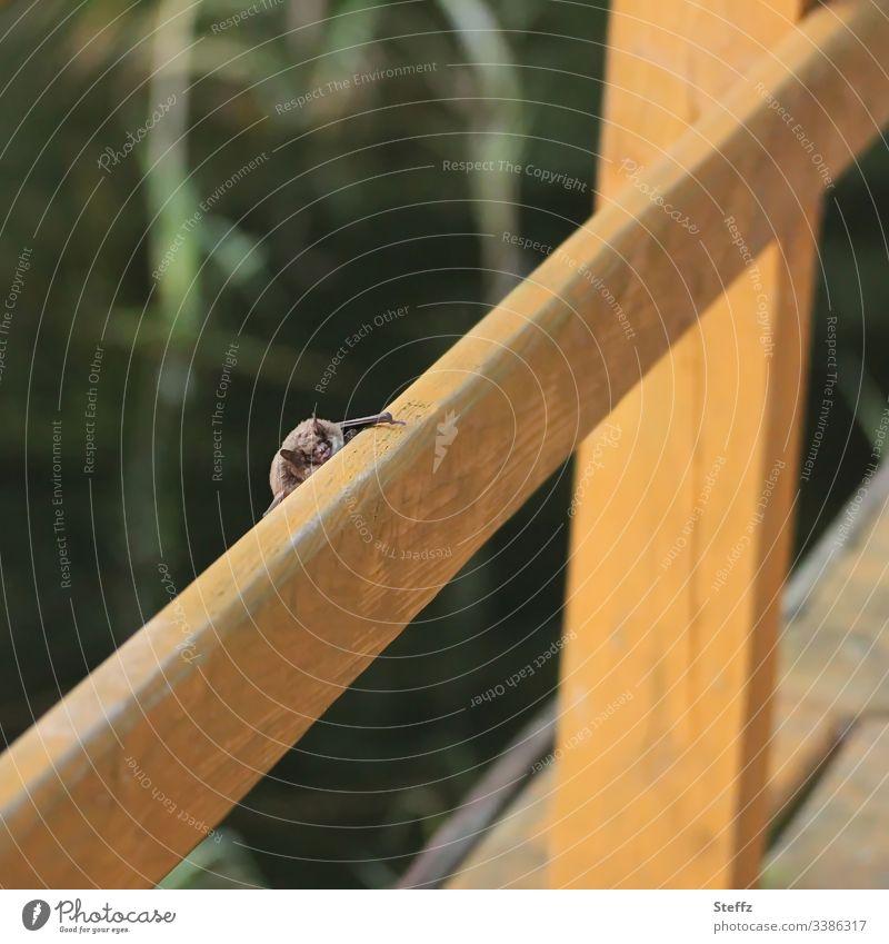 Fledermaus Tier Tiergesicht Fledermäuse auf der Lauer herausschauen schauend Natur Virusträger coronavirus versteckt Textfreiraum Bokeh Umwelt klein verstecken