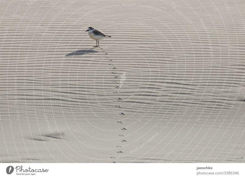 Vogel hinterlässt Laufspuren im Sand Laufvogel Fußspuren Spuren Tier Strand nachverfolgen Verdächtiger Fußspuren im Sand Spurensuche finden zu fuß kommen warten
