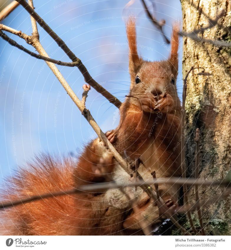 Fressendes Eichhörnchen im Baum Blick nach vorn Blick in die Kamera Vorderansicht Tierporträt Porträt Sonnenstrahlen Kontrast Schatten Licht Tag