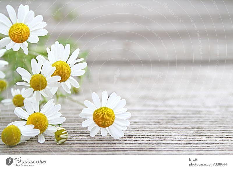 Kamille Natur Pflanze Sommer weiß Gesunde Ernährung Blume Umwelt gelb Frühling Holz Glück Garten Feste & Feiern Gesundheitswesen Lebensmittel Geburtstag