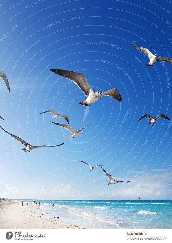 Möwen fliegen um den Strand und das karibische Meer Vogel weißer Strand türkis tropisch Wasser Karibik MEER sich[Akk] entspannen Resort blau Windstille cayo