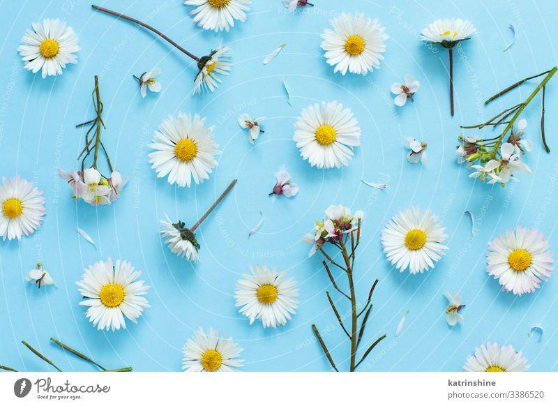 Weiße Wildblumen auf hellblauem Hintergrund Blume Gänseblümchen wild weiß Blütenblätter Liebe romantisch hell-blau flache Verlegung Draufsicht oben Konzept