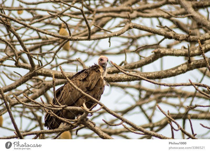 Ein Geier, der sich auf dem Ast mit einem Hintergrund ausruht Afrika Gambia Afrikanisch Tier Rücken Schnabel Vogel Fleischfresser Krallen Erhaltung Ökologie