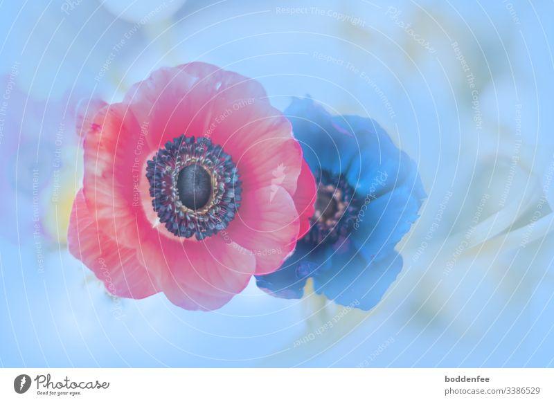 Anemonen Frühling farbenfroh Nahaufnahme natürliches Licht kreativ Natur Blume Blüte