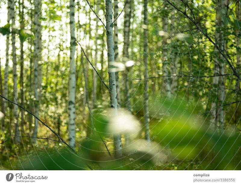 Birkenwald in Finland baum natur green holz landschaft wasser sonne birches herbst sommer frühling föhre blatt sonnenlicht park umwelt sumpf nebel fluss