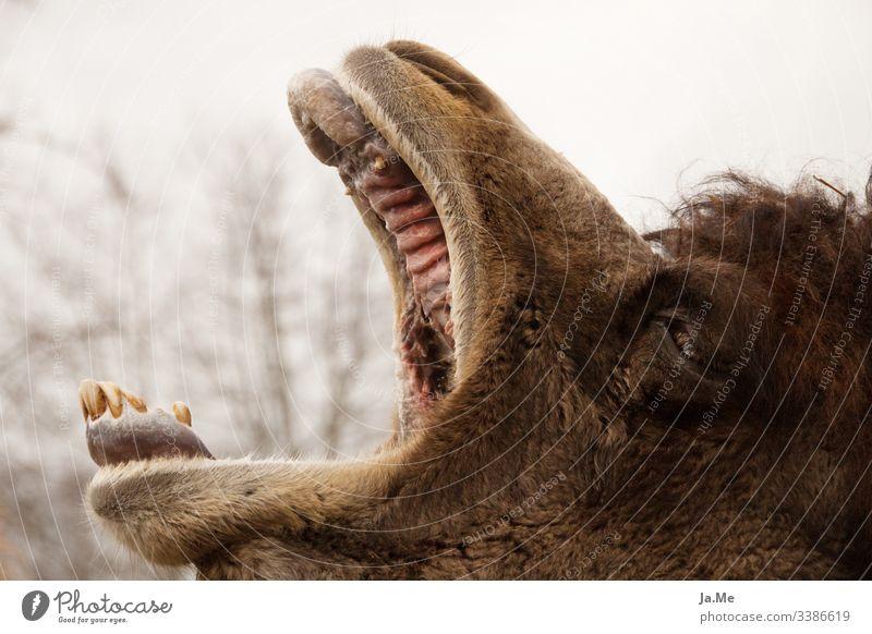 Braunes Kamel Trampeltier gähnend mit offenem Maul im Tierpark, Außenaufnahme, Detailaufnahme tierwelt fauna Säugetier Natur Wildnis Naturliebe Tierwelt Fauna