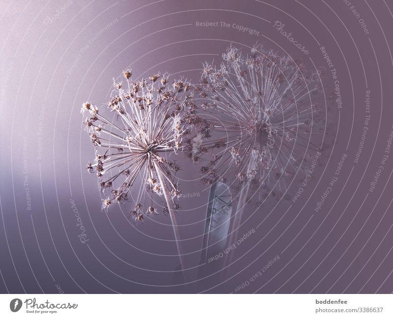 Riesenlauch-Samenstängel getrocknet Riesen-Lauch Zierknoblauch Saatgut natürliches Licht Schatten
