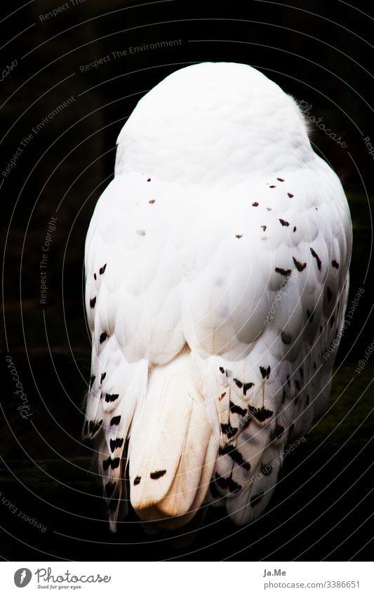 Weiße Schneeeule vor schwarzem Hintergrund, Rückansicht, Federkleid in Detailaufnahme Natur fauna tierwelt Tier Vogel Zoo 1 raubvogel Greifvogel Eulenvögel