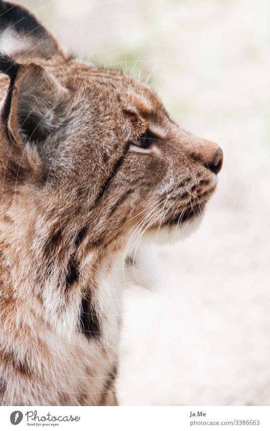 Porträit von einem braunen Luchs, Seitenansicht, Blick von Kamera abgewandt, Detailaufnahme Tier Tierporträt Tiergesicht Säugetier Katze tierpark Wildtier