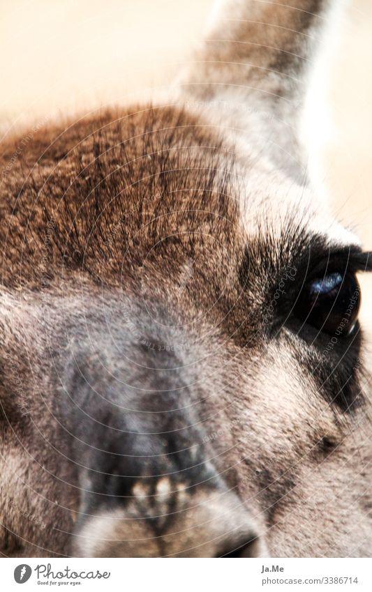 Nahaufnahme ein braunes Alpaka schaut in die Kamera mit weichem Fell und großen Augen Wildtier Tier Zoo Säugetier Reh Lama Känguruh Tiergesicht portrait