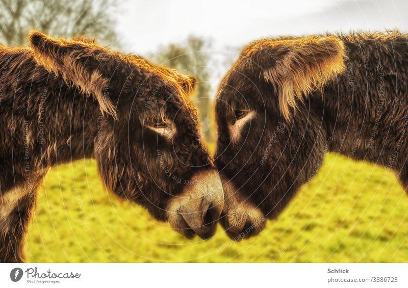 Zwei Poitou-Esel blicken sich in die Augen 2 Paar Liebe Zuneigung anschauend Säugetier Fell braun Gegenlicht zärtlich Tierportrait langhaarig Berührung Nähe