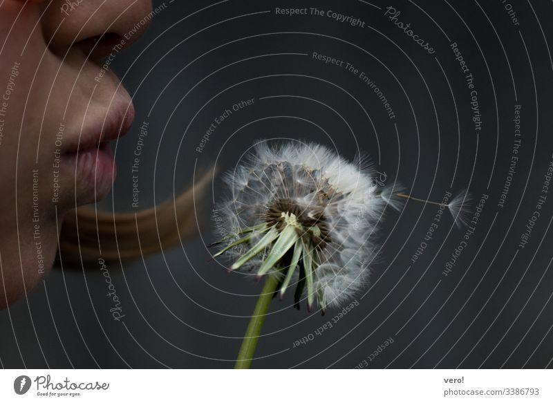 Pustebllume Detailaufnahme Löwenzahn Blume Natur Gefühle Tag Hintergrund neutral Textfreiraum oben Nahaufnahme Außenaufnahme Farbfoto blasen Vergänglichkeit