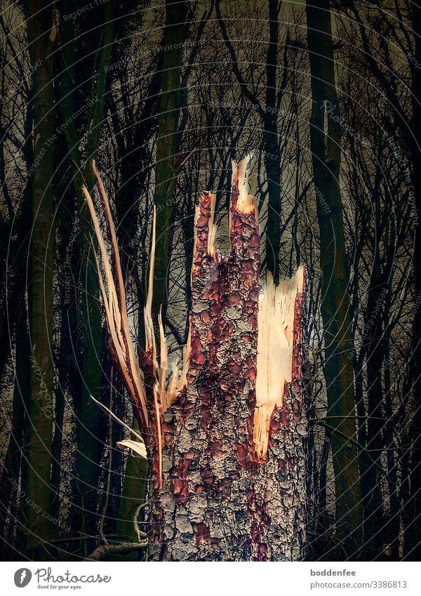 Sturmfolge: abgedrehte Fichte Sturmschaden Baum Baumstamm Umwelt Natur Holz