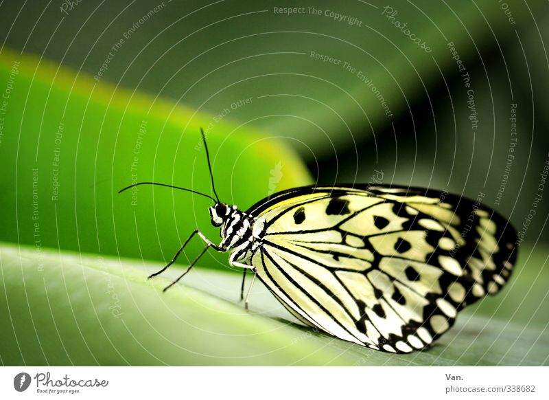 Is' was? Natur Tier Pflanze Blatt Wildtier Schmetterling Flügel 1 grün weiß Farbfoto mehrfarbig Außenaufnahme Nahaufnahme Menschenleer Textfreiraum oben Tag