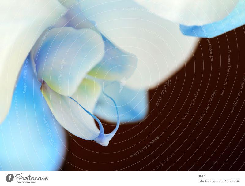 bleu [5] Natur Pflanze Frühling Blume Orchidee Blüte Duft frisch schön blau braun Farbfoto mehrfarbig Außenaufnahme Nahaufnahme Detailaufnahme Menschenleer