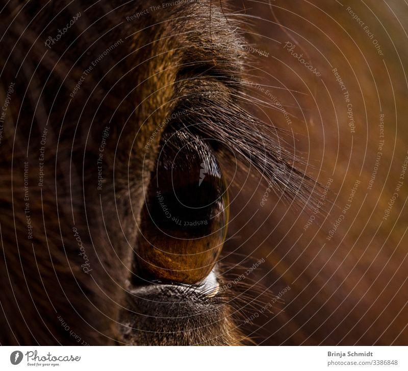 Nahaufnahme eines braunen Auges eines braunen Pferdes Makrofotografie Detail sehen Blick Fuchs Fell Mähne Intensität Pupille Haare Tier Gesicht Kopf Farbfoto
