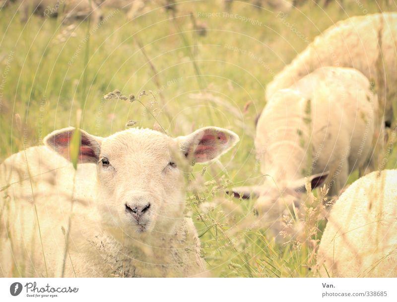Verflixt und zugeMäht Natur Frühling Gras Wiese Tier Nutztier Schaf 4 Neugier niedlich gelb Farbfoto Gedeckte Farben Außenaufnahme Menschenleer Tag Tierporträt