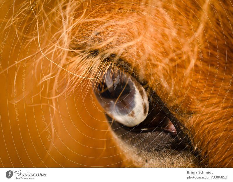 Nahaufnahme eines blaugrauen Auges eines fuchsfarbenen Pferdes Makrofotografie Detail sehen Blick Fuchs Fell Mähne Intensität Pupille Haare Tier Gesicht Kopf