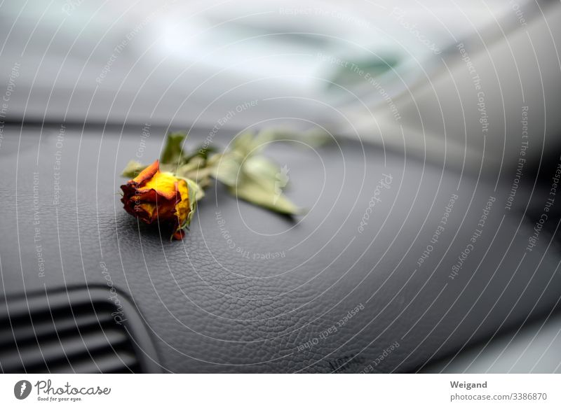 Abschied Rose Autofahren Trauer Traurigkeit Depression Hoffnungslosigkeit Blüte Kummer Vergänglichkeit