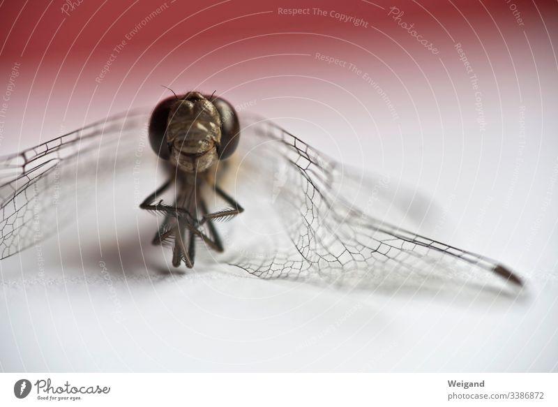 Libelle Insekt tot trocken Makroaufnahme Nahaufnahme Tier Flügel Libellenflügel