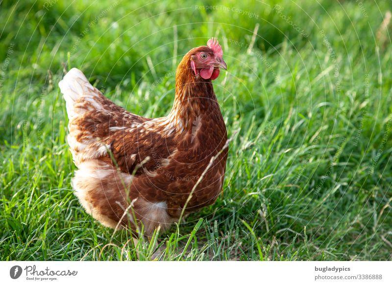 Braunes Huhn auf grüner Wiese Henne Vogel Tierhaltung Bioprodukte Biologische Landwirtschaft Haushuhn Tierporträt Bauernhof Außenaufnahme Farbfoto Nutztier