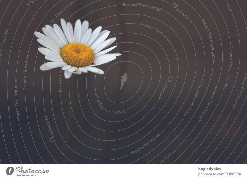 Einzelne Margerite auf dunklem unscharfem Hintergrund Blume Pflanze einzeln einzeln stehend Textfreiraum rechts Natur natural Sommerblumen weiße blüte Einsam