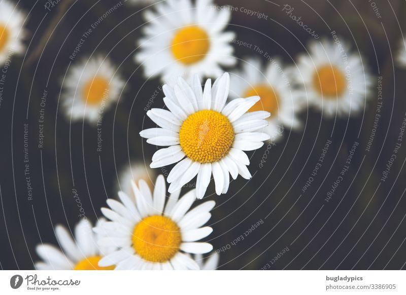 Margeritenblüten in Aufsicht margeriten Blütenpflanze Wildpflanze Wildpflanzen Garten Natur Sommer Blume Außenaufnahme Farbfoto Pflanze Tag Blühend Unschärfe