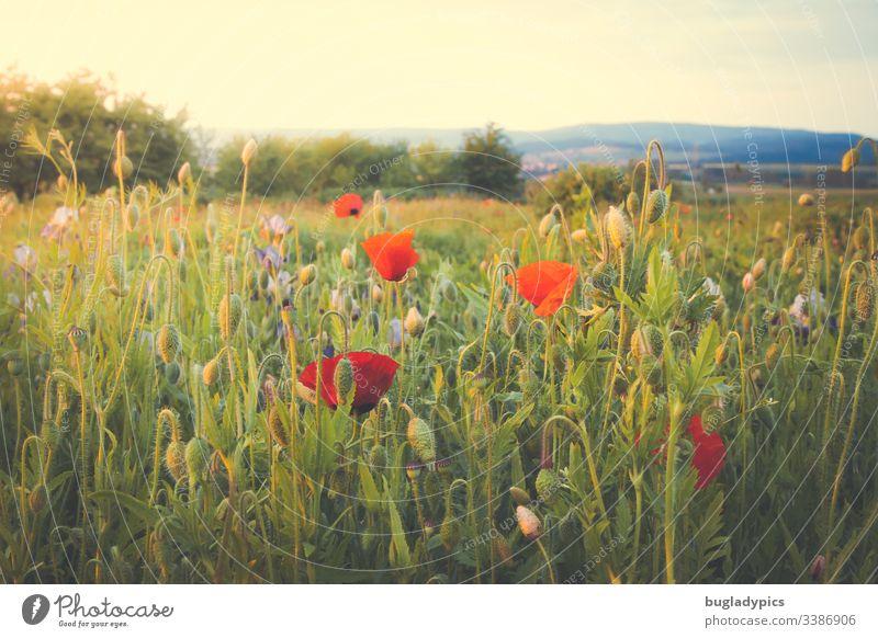 Blumenwiese mit viel Mohn in der Abendsonne Klatschmohn mohnblumen Mohnblüte Gartenblumen wilder Garten Natur Landschaft Sommerabend Pflanze rot Außenaufnahme