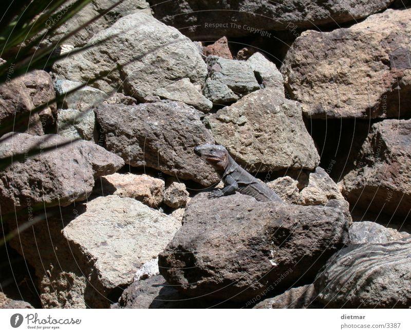 eidechse Natur Tier Reptil Echte Eidechsen