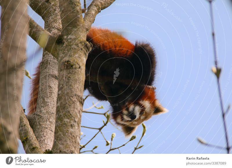 Neugieriger Roter Panda niedlich Natur Tier Tag Außenaufnahme Tierporträt Farbfoto 1 Wildtier Tierwelt Zoo Tiergesicht wild