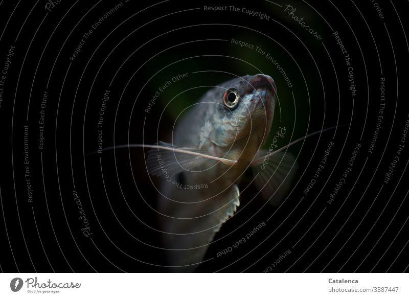 Blauer Aquarienfisch (gepunkteter Fadenfisch) hebt sich vom dunklem Hintergrund ab Menschenleer Nahaufnahme Farbfoto Fisch schwarz schön Tier 1 schwimmen