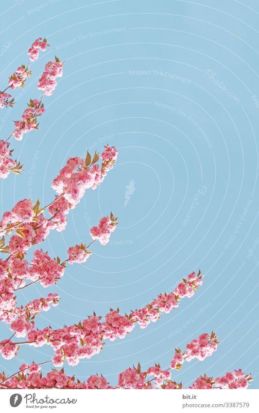 Der Frühling kommt mit Ästen von links in den strahlend, blauen Himmel, verbreitet Lebensfreude, Glücksgefühle und läßt Textfreiraum für zarte, rosa Blüten.
