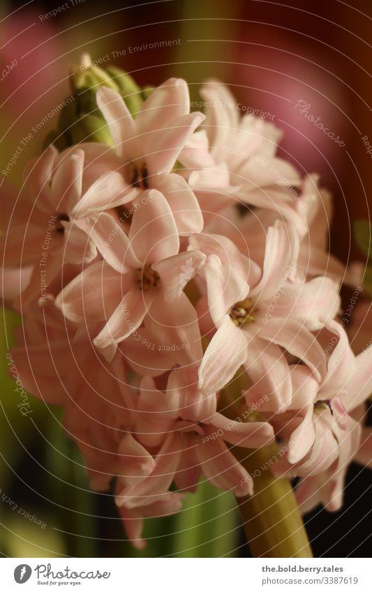 Hyazinthe rosa Schönes Wetter Nahaufnahme natürlich Natur Wachstum Blühend Lebensfreude Fröhlichkeit frisch Blume Blüte Freundlichkeit Pflanze Frühling schön