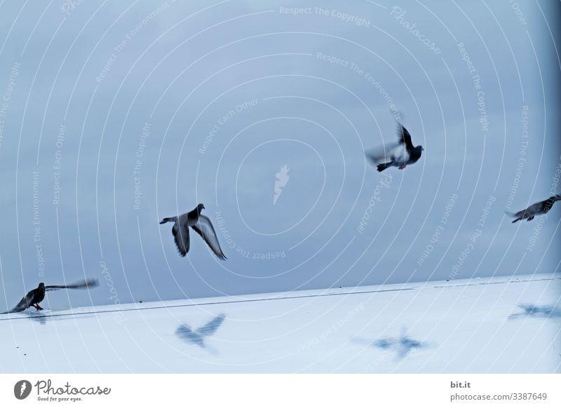 Einmal über den eigenen Schatten fliegen, wollten die Tauben und erhoben sich in die Luft. Vogel blau Wolken Tier Himmel Flügel Außenaufnahme Natur Freiheit