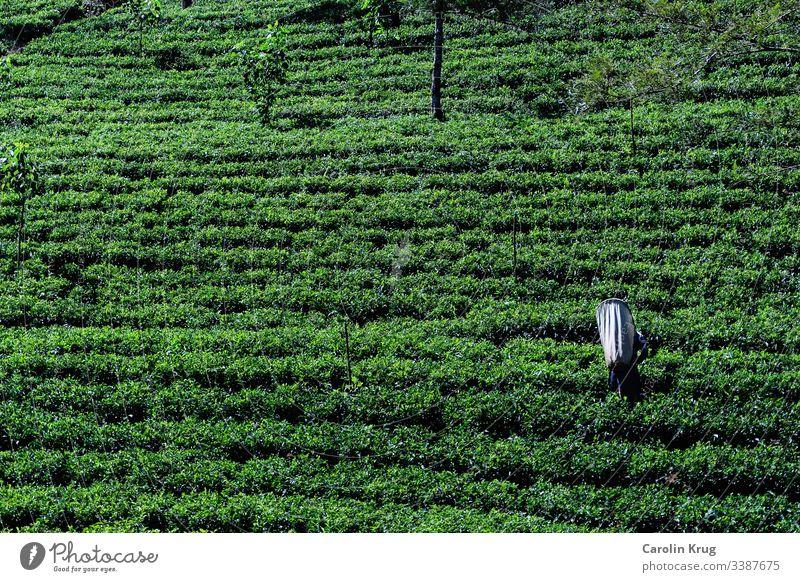 Arbeiterin in einer Teeplantage in Sri Lanka Reisen Eisenbahn grün schwarz weiß Zeremonie pflücken Essen und Trinken Freiheit Genuss Ceylon Asia Lebensmittel