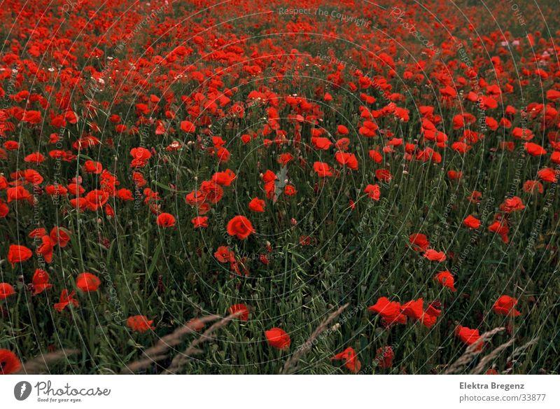 Mohnblumenfeld Natur schön rot ruhig Wiese Mohn