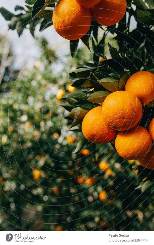 Orangen in einem Baum orange Orangenbaum Orangenhain Farbfoto Außenaufnahme Natur Tag Umwelt Frucht Textfreiraum links Orangensaft Vitamin C Zentralperspektive