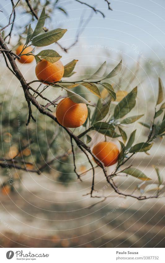 Orangen in einem Baum orange Orangensaft Farbfoto Gesundheit Frucht Vitamin Ernährung Vitamin C Zitrusfrüchte Lebensmittel Gesunde Ernährung Bioprodukte saftig