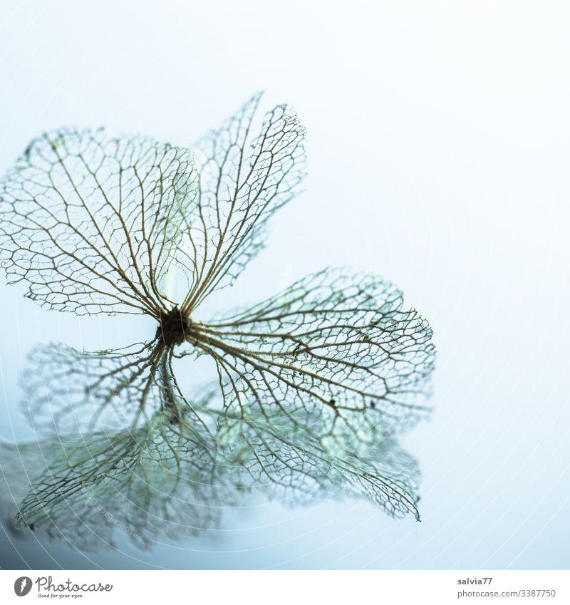 Spiegelbild der Vergänglichkeit Natur Makroaufnahme Blüte Hortensienblüte Strukturen & Formen Blattadern Menschenleer Schwache Tiefenschärfe Pflanze