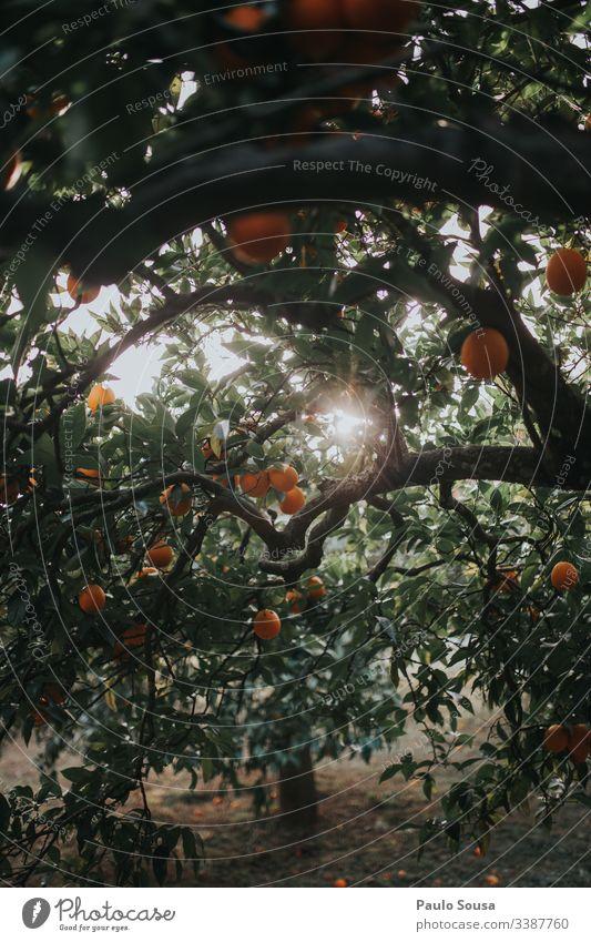 Orangen in einem Baum orange Orangenbaum Orangenhain Farbfoto Außenaufnahme Natur Tag Licht Textfreiraum unten Gesundheit Sonnenlicht Umwelt Detailaufnahme