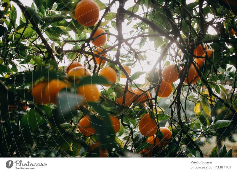 Orangen auf einem Baum orange Orangensaft Orangenbaum Vitamin vitaminreich Vitamin C Zitrusfrüchte Frucht Ernährung Gesunde Ernährung frisch gelb Bioprodukte