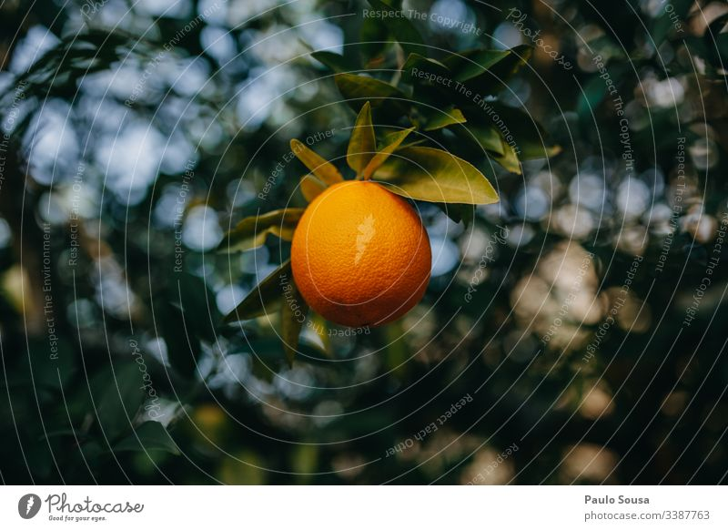 Isolierte Orange in einem Baum orange Nahaufnahme Hintergrund natürlich grün Farbe Detailaufnahme Natur Außenaufnahme Orangenbaum Vitamin C